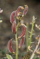 Astragalus minthorniae var. villosus