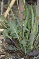 Caulanthus crassicaulis