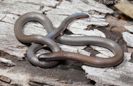Granite Worm Lizard