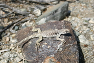 "<strong>Location:</strong> Chuckwalla Mtns at Corn Springs Campground, elev. 487 m (1600 ft.) (Riverside County, California, US)<br /><strong>Author:</strong> <a href=""http://calphotos.berkeley.edu/cgi/photographer_query?where-name_full=William+Flaxington&one=T"">William Flaxington</a>"