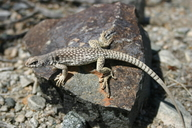 """<strong>Location:</strong> Chuckwalla Mtns at Corn Springs Campground, elev. 487 m (1600 ft.) (Riverside County, California, US)<br /><strong>Author:</strong> <a href=""""http://calphotos.berkeley.edu/cgi/photographer_query?where-name_full=William+Flaxington&one=T"""">William Flaxington</a>"""