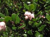 Arctostaphylos nummularia ssp. nummularia
