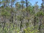 Hesperocyparis pygmaea