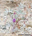 Astragalus insularis var. harwoodii