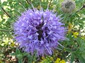 Monardella undulata ssp. arguelloensis