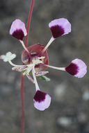 Clarkia springvillensis