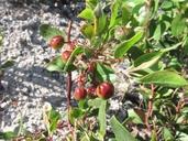 Arctostaphylos stanfordiana ssp. decumbens