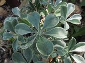 Lupinus sericatus