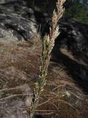 Poa secunda ssp. secunda