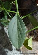 Ditaxis serrata var. californica