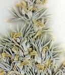 Astragalus kentrophyta var. ungulatus