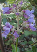 Penstemon rattanii