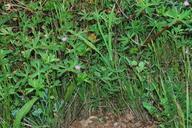 Geranium retrorsum