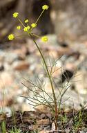 Lomatium marginatum var. marginatum