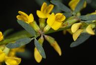 Acmispon procumbens