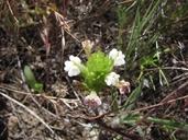 Castilleja rubicundula ssp. rubicundula