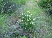 Iris tenax ssp. klamathensis