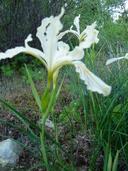 Iris tenax