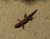 "On wall of house in daylight<br /><strong>Location:</strong> Dambari Field Station (Matabeleland, Zimbabwe)<br /><strong>Author:</strong> <a href=""http://calphotos.berkeley.edu/cgi/photographer_query?where-name_full=Simon+J.+Tonge&one=T"">Simon J. Tonge</a>"