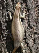 """Gravid female with damaged tail<br /><strong>Location:</strong> Hillside Dams, Bulawayo (Matabeleland, Zimbabwe)<br /><strong>Author:</strong> <a href=""""http://calphotos.berkeley.edu/cgi/photographer_query?where-name_full=Simon+J.+Tonge&one=T"""">Simon J. Tonge</a>"""