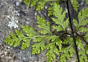 Aspidotis californica