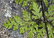 Aspidotis californica