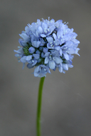 Gilia capitata ssp. pedemontana