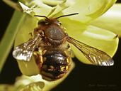 Anthidium manicatum