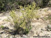 Galium angustifolium ssp. angustifolium