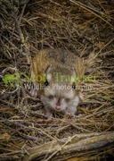 Merriams Kangaroo Rat
