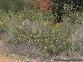 Helianthus gracilentus