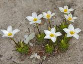 Linanthus parviflorus var. rosaceus