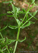 Galium porrigens