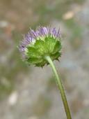 Trifolium sp. nov. aff. physanthum