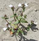Collinsia bartsiifolia