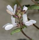 Collinsia bartsiifolia var. bartsiifolia