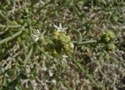 Petalonyx thurberi ssp. thurberi