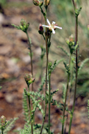 Horkeliella purpurascens