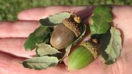 Quercus durata var. gabrielensis
