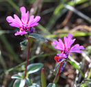Raiche's Red- Ribbon Clarkia