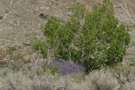 Lupinus excubitus