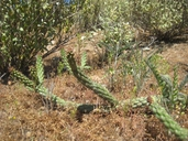 Cylindropuntia californica var. californica