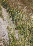 Tall Slender Wheatgrass