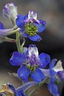 Delphinium andersonii