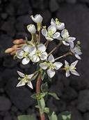 Eremothera boothii ssp. condensata