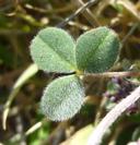 Trifolium macraei