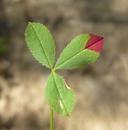 Trifolium variegatum