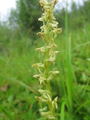 Platanthera stricta