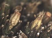 Orthotrichum shevockii