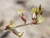 Astragalus shevockii